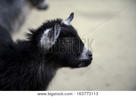 Close up of a black and white goat kid