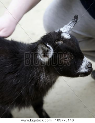 Close up of a black goat kid getting petted