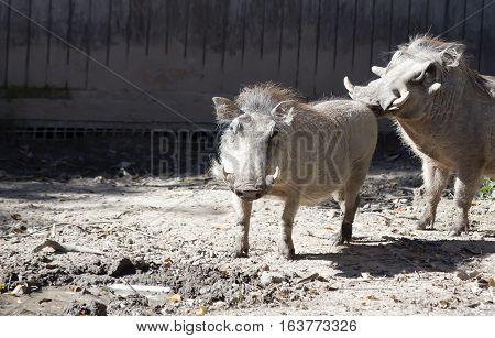 Close up of warthogs preparing to mate