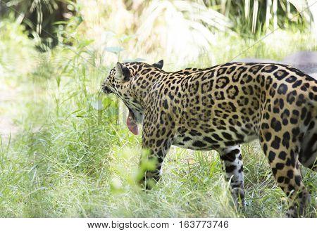 Close up profile of a jaguar yawning