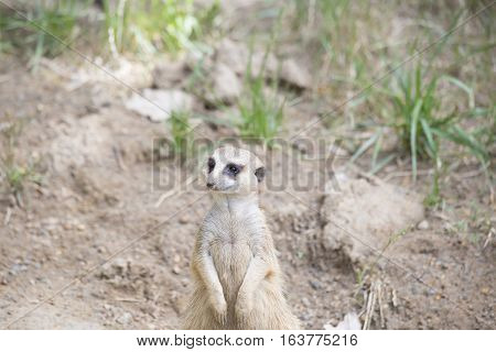 A lone, watchful meerkat watching something in the distance