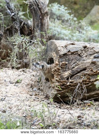 Meerkat climbing cautiously out of a log