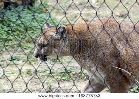 Mountain lion pacing behind a fence with natural background