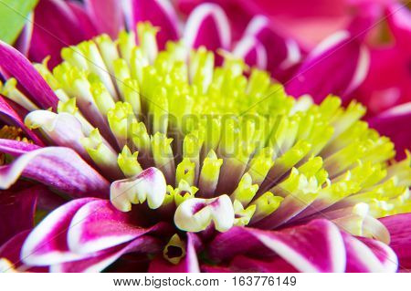 Beautiful spring purple gerbera flower macro close up