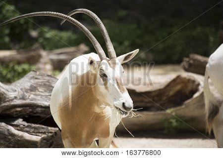Scimitar Oryx