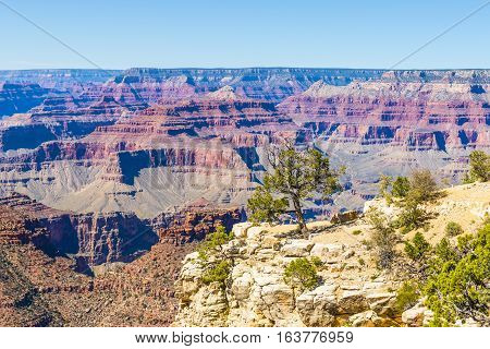 Tree on the edge of Grand Canyon on a sunny clear day. Diverse colors of geological formation of Canyon.
