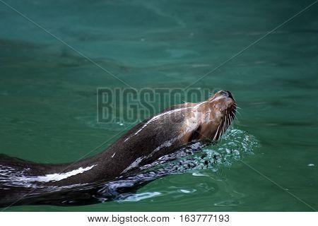 Head of sea lion swimming in pool