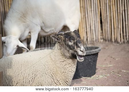 Close up of a farm sheep bleating