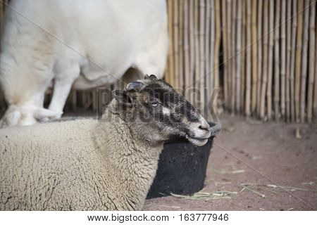 Close up of a sheep in a farm pen