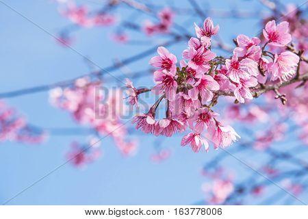 Wild Himalayan Cherry flower (Prunus cerasoides)Giant tiger flower in Thailand.