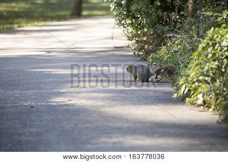 Eastern gray squirrel frozen on a sidewalk
