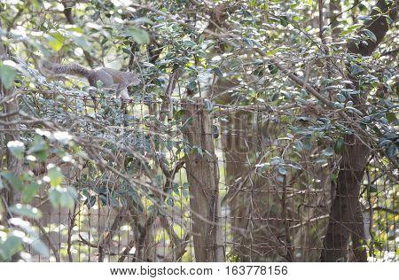 Eastern gray squirrel walking along a fence