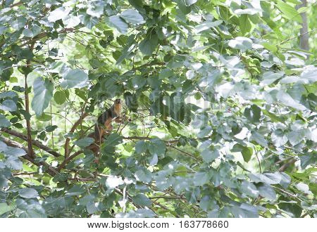 Squirrel hiding in leaves on a tree branch