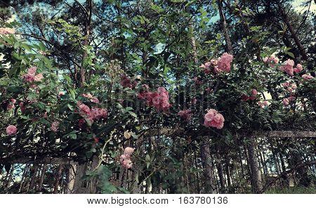 Pink Rose Flower Trellis In Da Lat City