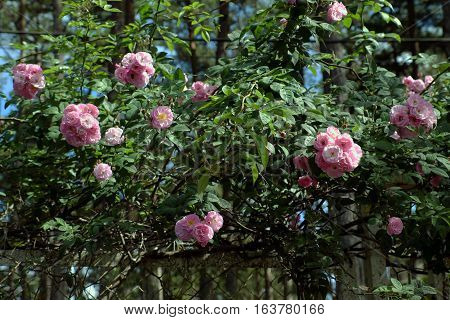Pink Rose Flower Trellis In Dalat City
