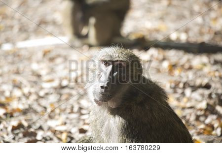 Olive baboon (Papio anubis) staring thoughtfully into the camera