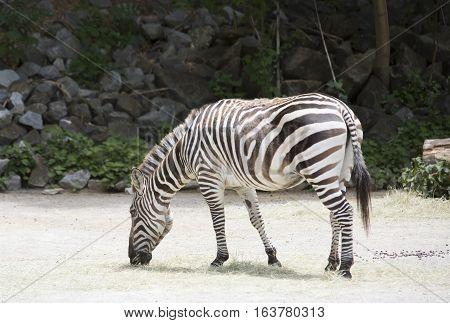 Lone zebra grazing in an open area