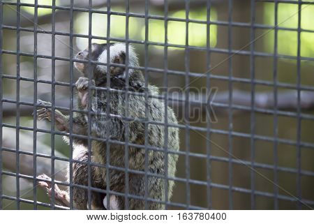 Common marmoset monkey hanging on cage wire