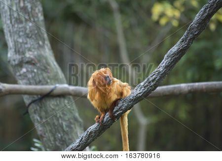 Golden lion tamarin also called a golden marmoset climbing along a branch