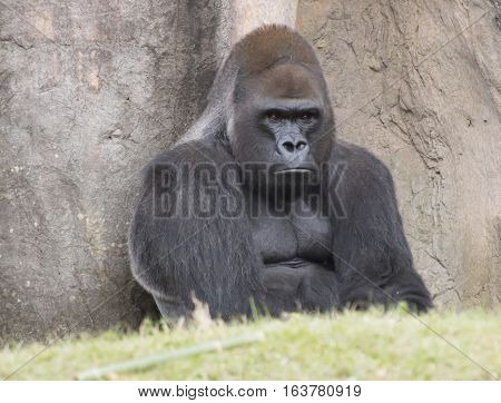 Western lowland gorilla staring pensively into the distance