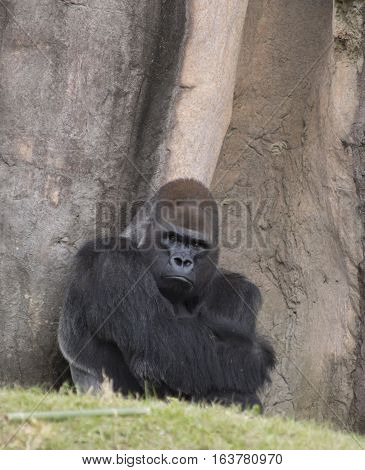 Western lowland gorilla staring stubbornly into the distance