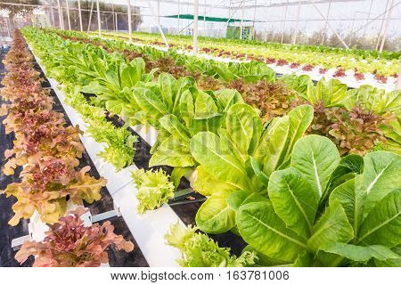 Organic hydroponic vegetable growing in water without soil at farm plant.