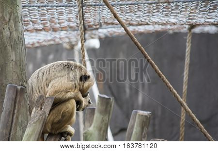 Female howler monkey staring pensively from a perch
