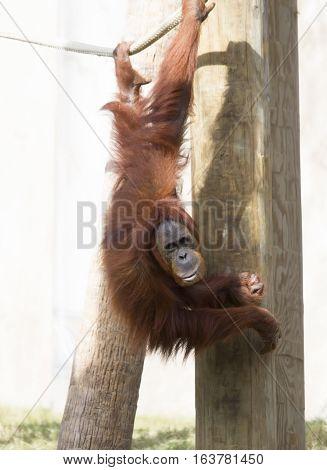 Close up of an orangutan hanging playfully from a rope