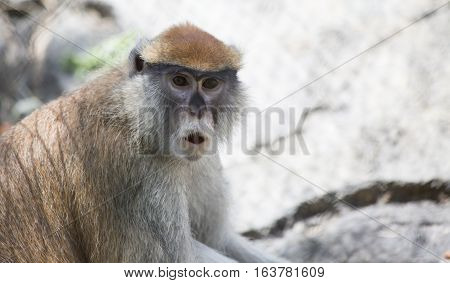 Patas monkey also called a military monkey and the red guenon howling