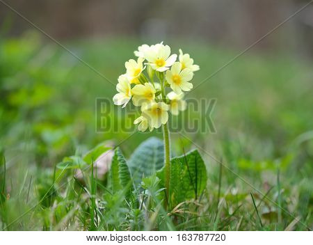 Cowslip (Primula veris) flower in green grass