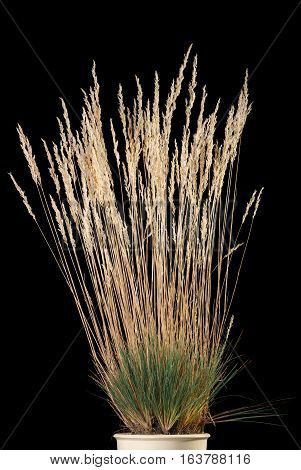 Yellow Grass Cluster With Panicle In Flower-pot