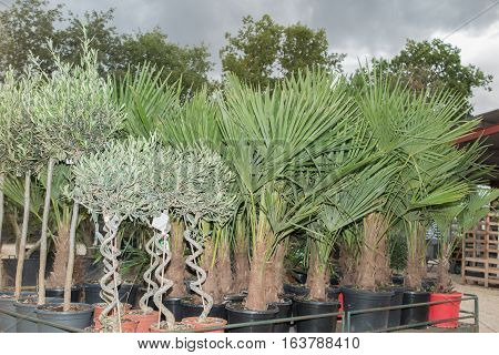 Palm Trees And Shrubs For Sale In A Garden Center, Outside