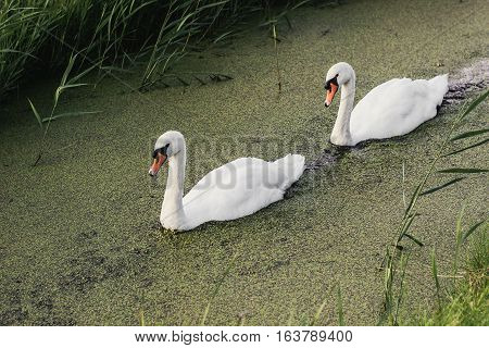 Couple Of White Swans Swimming In Canal