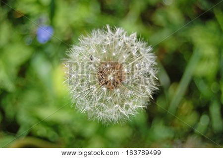 Spring flower, green, greenery. Herb and leaves. Dandelion, blowball.
