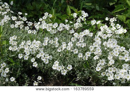 Spring flower, green, greenery. Herb and leaves. Arenaria, chickweed.