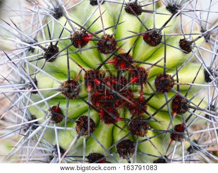 Closeup of Ferocactus type cactus plant and thorns.