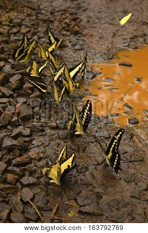Yellow and black butterflies flying around a muddy puddle in a path in Iguazu natural park, Argentina.