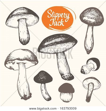 Vector illustration with set of mushrooms in sketch style. Hand-drawn slippery jack on white background. Autumn forest harvest.