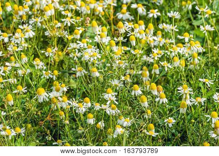Closeup of spicy scented and white and yellow blossoming chamomile or Matricaria chamomilla and other wild plants on a sunny day in the summer season.