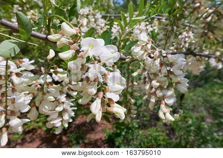 close-up of a bunch of white Acacia flowers in full bloom in a sunny day