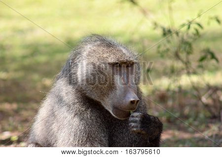 closeup portrait of a chacma baboon male eating a leaf