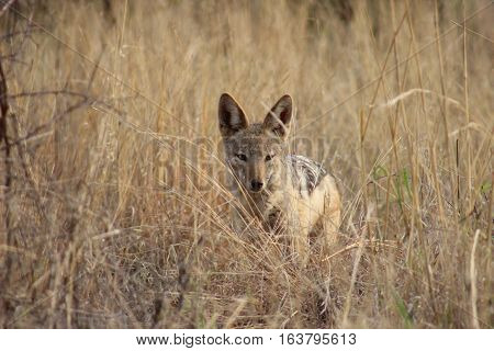 Black back jackal looking for its next meal in the tall grass