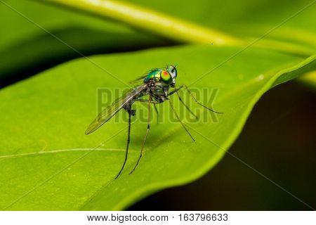 Long legged fly (Austrosciapus connexus) sitting on a leaf