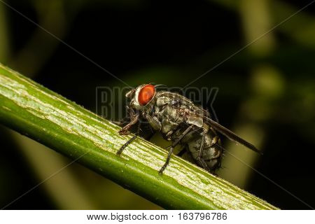 Close up of a Flesh Fly or Meat Fly