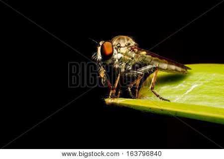 Asilidae Robber fly waiting for prey on branch