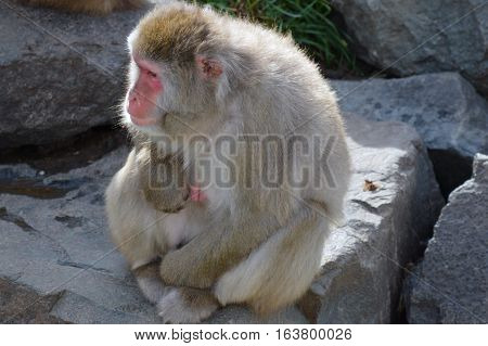 Snow monkey in the outdoors during summer