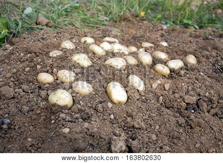 Crop of many ripe young potatoes tubers in ground closeup