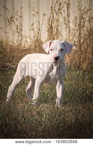Dogo Argentino puppy or young dog standing in grasses.