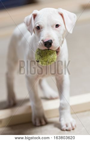 Dogo Argentino white puppy dog holding a green tennis ball