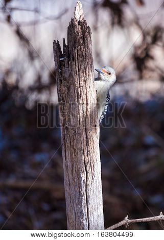 Red bellied woodpecker on a fence post.